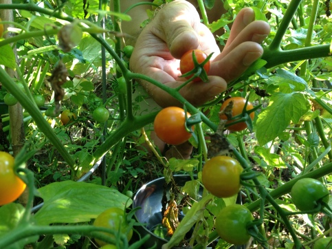 hand tomato
